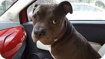 American Staffordshire Terrier/Terrier (Unknown Type, Medium) Mix Puppy for adoption in Orlando, Florida - Ghengis