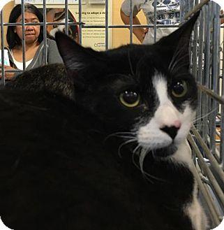 Domestic Shorthair Cat for adoption in Yorba Linda, California - Chip