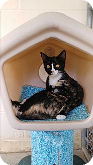 Domestic Shorthair Kitten for adoption in Umatilla, Florida - Patches