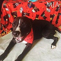 American Staffordshire Terrier Mix Dog for adoption in DeForest, Wisconsin - Mia