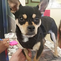 Chihuahua Mix Puppy for adoption in Orlando, Florida - Cujo