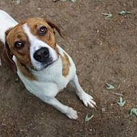 Hound (Unknown Type) Mix Dog for adoption in Armonk, New York - Pascal