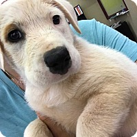 Adopt A Pet :: Curly - Mooresville, NC