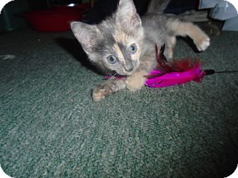 Domestic Shorthair Kitten for adoption in Chicago, Illinois - Lily Rose