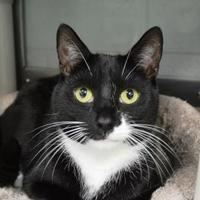 Domestic Shorthair/Domestic Shorthair Mix Cat for adoption in Annapolis, Maryland - Shorty