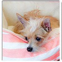 Yorkie, Yorkshire Terrier/Chihuahua Mix Dog for adoption in Redding, California - Yoda 5 tiny pounds