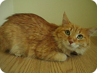 Domestic Shorthair Cat for adoption in Milwaukee, Wisconsin - Karly