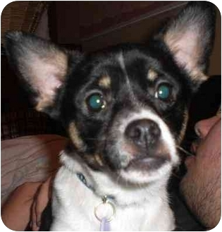 Chihuahua Mix Dog for adoption in Rigaud, Quebec - Flash