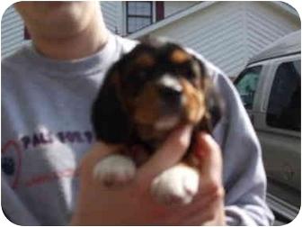 King Charles Spaniel/Beagle Mix Puppy for adoption in Kokomo, Indiana - Charlie