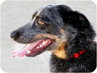 Blue Heeler/Australian Cattle Dog Mix Dog for adoption in Marina del Rey, California - Daisy