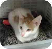Domestic Shorthair Kitten for adoption in Tampa, Florida - Sonny