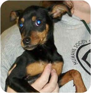 Miniature Pinscher Mix Puppy for adoption in Murphysboro, Illinois - Kia