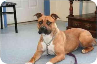 Boxer Mix Dog for adoption in Islip, New York - Farrah