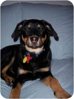Collie/German Shepherd Dog Mix Puppy for adoption in Scottsdale, Arizona - Sweet Pea (Flagstaff)