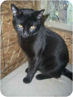 Domestic Shorthair Cat for adoption in Peoria, Illinois - Salem