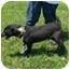 Photo 4 - Bull Terrier Mix Dog for adoption in Lexington, Missouri - Rowdy