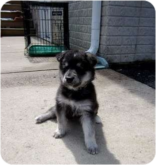 Husky/Shepherd (Unknown Type) Mix Puppy for adoption in Bel Air, Maryland - Sheba
