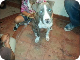 Bull Terrier/American Pit Bull Terrier Mix Puppy for adoption in Harbor City, California - Tuss