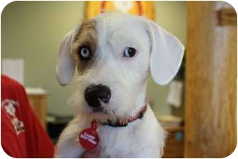 Lhasa Apso/Terrier (Unknown Type, Small) Mix Dog for adoption in Medford, New Jersey - Bowie