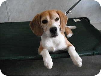 Beagle Dog for adoption in Rock Springs, Wyoming - Keno