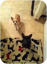 Chihuahua Dog for adoption in Manahawkin, New Jersey - Velma