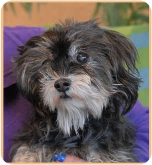 Yorkie, Yorkshire Terrier/Poodle (Toy or Tea Cup) Mix Dog for adoption in Las Vegas, Nevada - Maggie