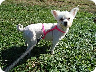Maltese Mix Dog for adoption in Youngwood, Pennsylvania - Angel