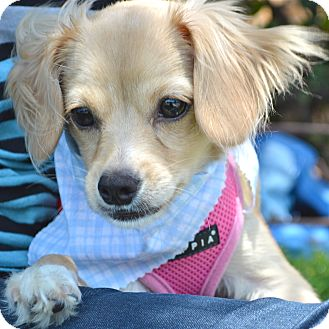 Spaniel (Unknown Type) Mix Puppy for adoption in Los Angeles, California - Clyde
