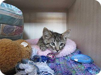 Domestic Shorthair Kitten for adoption in Ridgway, Colorado - Earl
