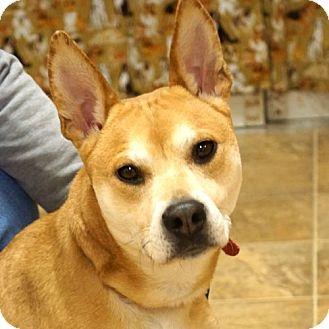 Shiba Inu Mix Dog for adoption in Sprakers, New York - Sally