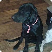 Adopt A Pet :: Ebony - cameron, MO
