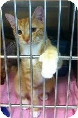 Hemingway/Polydactyl Cat for adoption in Gainesville, Florida - Ginger