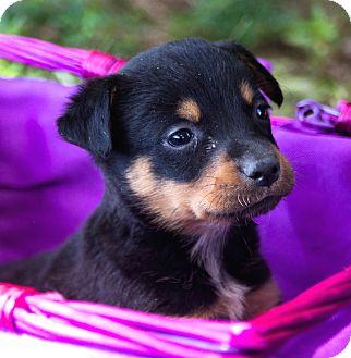 Rottweiler/Labrador Retriever Mix Puppy for adoption in Westport, Connecticut - *Lizzie Beth - PENDING