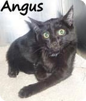 Domestic Shorthair Cat for adoption in Palm Coast, Florida - ANGIE
