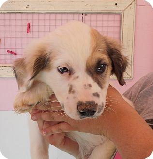 Great Pyrenees Mix Puppy for adoption in Tishomingo, Oklahoma - Heath