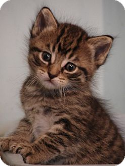 Domestic Shorthair Kitten for adoption in Florence, Kentucky - Royal Family---William