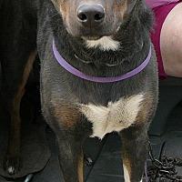 Australian Kelpie Mix Dog for adoption in New Plymouth, Idaho - MISTY