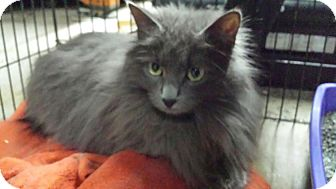 Domestic Longhair Cat for adoption in Ortonville, Michigan - Nova