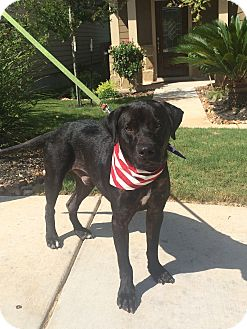 Labrador Retriever Mix Puppy for adoption in Austin, Texas - Cairo
