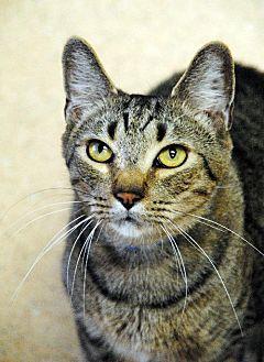 Domestic Shorthair Cat for adoption in Atlanta, Georgia - Alex 12155