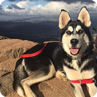 Husky Puppy for adoption in San Diego, California - Elsa