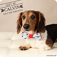 Adopt A Pet :: Calvin-Pending Adoption - Omaha, NE