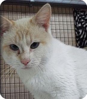 Domestic Shorthair Cat for adoption in Grants Pass, Oregon - Casper