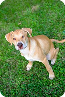 Pit Bull Terrier/American Pit Bull Terrier Mix Puppy for adoption in Dayton, Ohio - Mary Kay