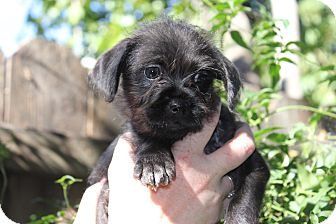 Chihuahua Mix Puppy for adoption in San Francisco, California - Ripley