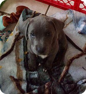 Weimaraner/Hound (Unknown Type) Mix Puppy for adoption in Beaumont, Texas - Gracie