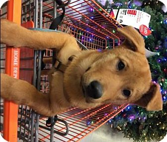 Jindo/Labrador Retriever Mix Puppy for adoption in San Clemente, California - Tong-Tong