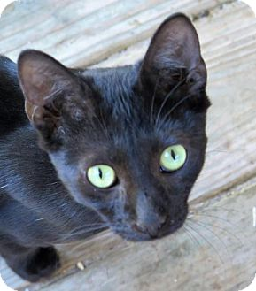 Oriental Cat for adoption in Gonzales, Texas - Hoops