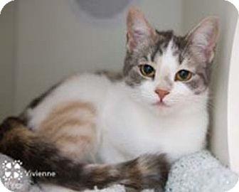 Calico Kitten for adoption in Merrifield, Virginia - Vivienne