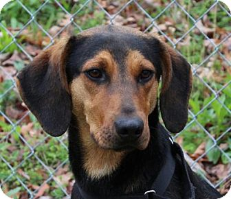 Hound (Unknown Type) Mix Dog for adoption in Allentown, Pennsylvania - Copper